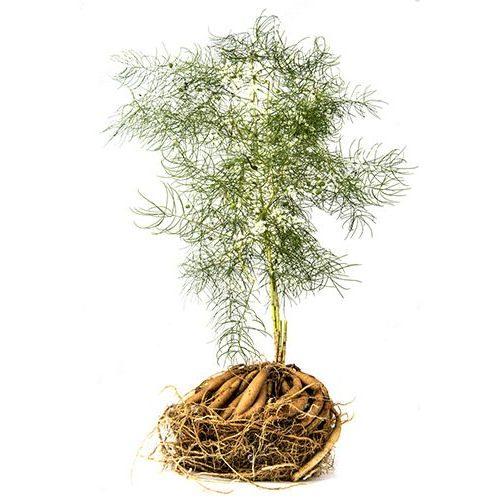 Shatavari-planta-natural